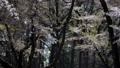 桜 桜吹雪 スローモーション フィックス 50674608