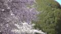 桜 桜吹雪 スローモーション フィックス 50674610
