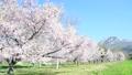 磐梯山牧場の満開桜 50698086