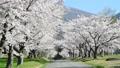 磐梯山牧場の満開桜 50698091