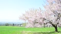 磐梯山牧場の満開桜 50698093