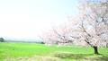 磐梯山牧場の満開桜 50698096