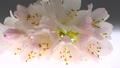 ดอกโรโดเดนดรอน 50717666