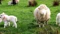 Cute little lambs grazing in a field in Ireland 50719462
