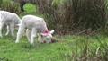 Cute little lambs grazing in a field in Ireland 50719469
