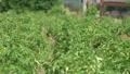 농촌 마을 앞에서 밭에서 자라는 채소 50722579