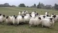 Funny sheep looking and walking towards camera 50733331