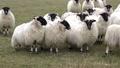 Funny sheep looking and walking towards camera 50733333