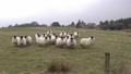 Funny sheep looking and walking towards camera 50733815