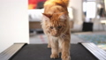 Maine coon cat exercising on a treadmill. slow motion. 3840x2160 50758499