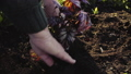 Hands of senior green volunteer planting a flower 50801337