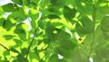 桜の新緑 フィクス撮影 50804882