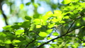 桜の新緑 フィクス撮影 50804883