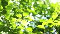 桜の新緑 フィクス撮影 50804884