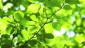 桜の新緑 フィクス撮影 50804885