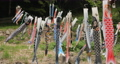 宮城県白石市の材木岩公園で鯉のぼりを空撮しました (無風) 50808193