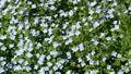 Forest scented violet 50816447