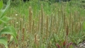 風に揺れるツボミオオバコ、5月 50844538
