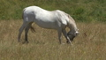 White horse grazing on meadow at summer 50958043