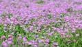 Astragalus grass 50963548