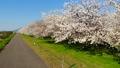 満開に咲く八重桜の並木(ドローン空撮) 51344526