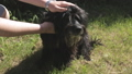 men's hands caress the black bearded dog on the head on the lawn 51353281