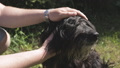 men's hands caress the black bearded dog on the head on the lawn 51353282