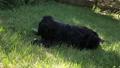 a black dog on a beautiful green lawn bites a bone 51353288