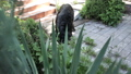 black dog snuck into the yard ate food, pees on the Bush 51353291