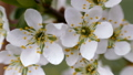 White flowers of sweet cherry in the spring. 51943213