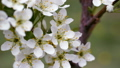 White flowers of sweet cherry in the spring. 51943219
