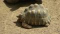 松鼠龟,乌龟,马达加斯加乌龟/辐射的乌龟 52400627