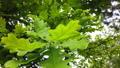 swaying in the wind oak leaves 52545394
