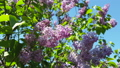 blooming lilacs in the spring. camera movement 52586377