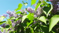 blooming lilacs in the spring. camera movement 52586428