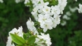 A lot of white flowers on cherry branch in garden 52914953