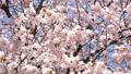 満開のエゾヤマザクラ(フィクス撮影) 52970919