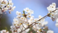 ソメイヨシノ(アップ 空バック フィクス撮影) 52970922
