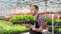 Confident male farmer working in greenhouse putting box with greenery seedling medium shot 52985240