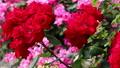 山下公園薔薇フェスティバル 52999555