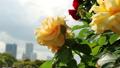 山下公園薔薇フェスティバル 52999557