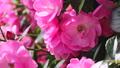 山下公園薔薇フェスティバル 52999558