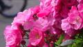 山下公園薔薇フェスティバル 52999559