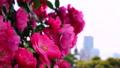 山下公園薔薇フェスティバル 52999562