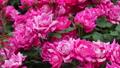 山下公園薔薇フェスティバル 52999565