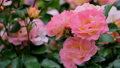 山下公園薔薇フェスティバル 52999570