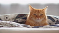Cute ginger cat lying in bed under blanket. Fluffy pet looks curiously. Cozy home background 53127948