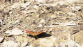 Small tortoiseshell moving on the ground in the forest in a sunny day, Russia. Media. Beautiful 53130153