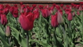 Flowerbeds of red, yellow and orange tulips. Close 53144580