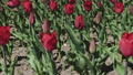 Flowerbeds of red, yellow and orange tulips. Close 53144581